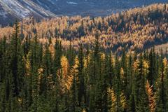 Autumn alpine larch trees Stock Photos