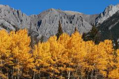 autumn poplar trees and mountains - stock photo
