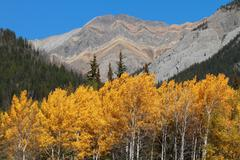 Autumn poplar trees and mountains Stock Photos