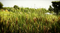 Field Of Reeds in Wind - stock footage