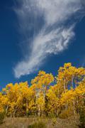 autumn poplars 1 - stock photo