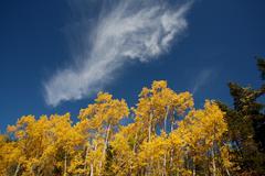 autumn poplars 3 - stock photo