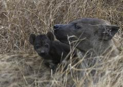 Hyena & pup in kruger national park south africa Stock Photos