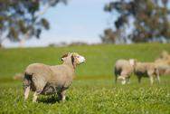 Stock Photo of sheep in a grassy field