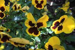 Viola Tricolor in shadow - stock photo