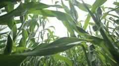 Dollyshot in cornfield Stock Footage