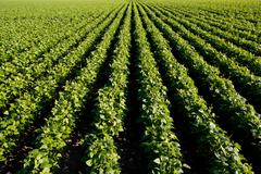 bean field 01 - stock photo