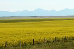 canola crop - stock photo