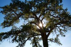 poplar tree and sun - stock photo