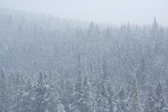 Blizzard in the forest 04 - stock photo
