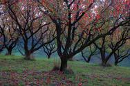 Stock Photo of Apple Orchard Scenic Fall Leaves