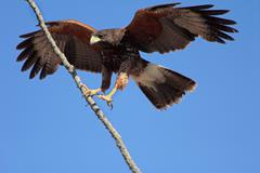 Hawk Lands On Branch Slowed - stock photo