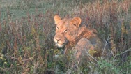 Lioness sitting in early morning ight. Stock Footage