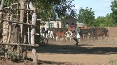 African Cows 1 Stock Footage