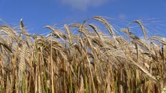 Wheat crops blowing in the wind Stock Footage