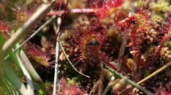 Round-leaved sundew - Fly Stock Footage