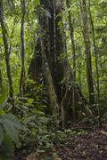 tropical tree in the ecuadorian amazon - stock photo