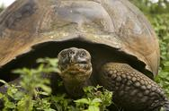 Stock Photo of giant galapagos tortoise