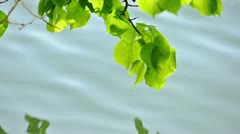 Basswood leafs tipping into water Stock Footage