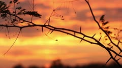 Thorny tree blows in wind at sunset near lake. Stock Footage