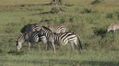 Serengeti Kenya East Africa | Birds hitching a ride on zebra Stock Footage