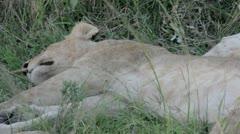 Masai Mara Serengeti Kenya East Africa   Lioness laying down breathing Stock Footage