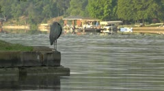 Amid Nature - Great Blue Heron Stands Point on the Lake Stock Footage