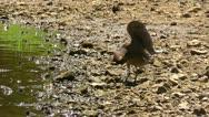 Amid Nature - Green Heron Makes Shade Using His Wing Stock Footage