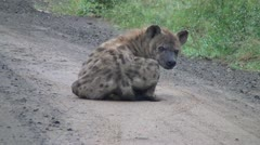 Hyena siting and sleeping the road. Stock Footage