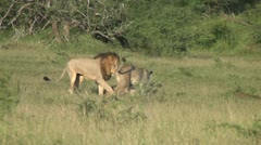 Male lion wating the attention of lionesses Stock Footage