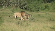 Lion and lionesses Stock Footage
