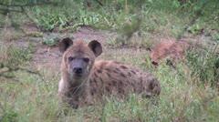 Hyena Sleeping Stock Footage