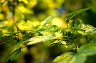 Stock Photo of Oak Tree Leaves shallow DOF