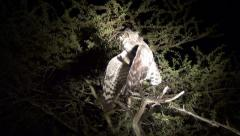 Spotted eagle owl - stock footage