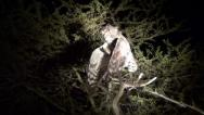 Spotted eagle owl Stock Footage