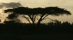 Acacia tree silhouette Stock Footage