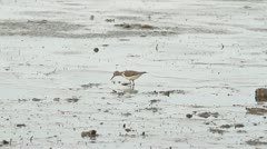Common Sandpiper looking for food in mud on the shore (Actitis hypoleucos) Stock Footage