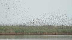 Huge flocks of starlings over reed preparing for autumn migration Stock Footage