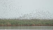 Stock Video Footage of huge flocks of starlings over reed preparing for autumn migration