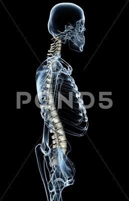 Stock Illustration of X-Ray Spinal Column