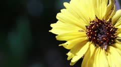 Wild Daisy Flower and Ants Stock Footage