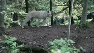 Stock Video Footage of Gray Wolf goes through clearing 1