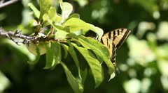 Butterfly on plum tree Stock Footage