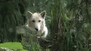 Stock Video Footage of Gray Wolf hidden 1a