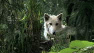 Stock Video Footage of Gray Wolf hidden 2a
