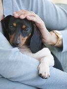 close up of woman holding dachshund - stock photo