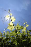 Vine branches Stock Photos