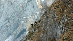 Herd of  females chamois with kids on mountain scenery in background. - stock footage