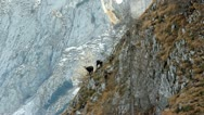 Herd of  females chamois with kids on mountain scenery in background. Stock Footage