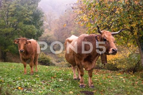 Stock photo of Two cows